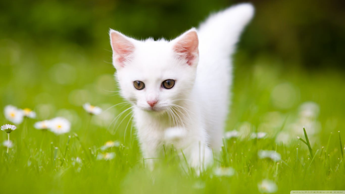 21  Pretty Wallpapers  Beautiful  Backgrounds  Images   FreeCreatives Pretty Cute White Kitten Wallpaper