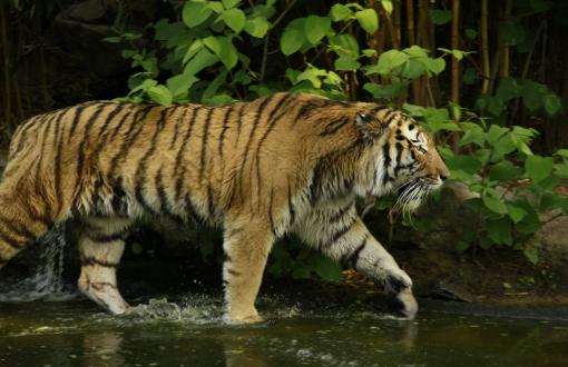 Tigers Full HD Wallpapers Search Page 2