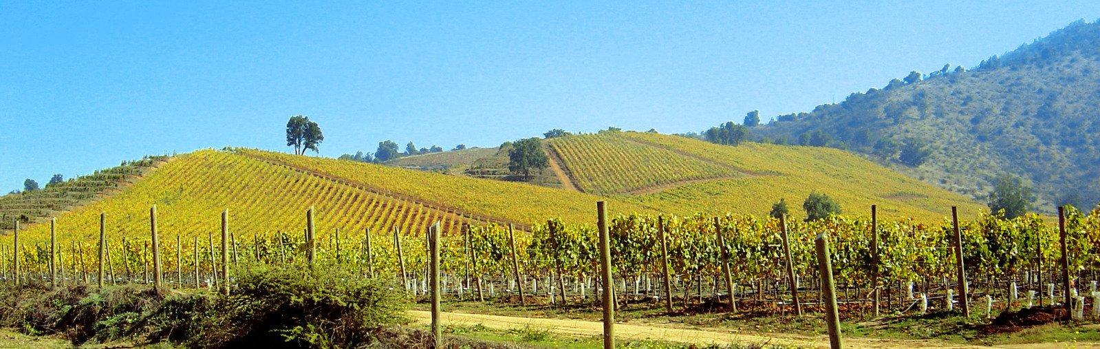 viñedos de Chardonnay