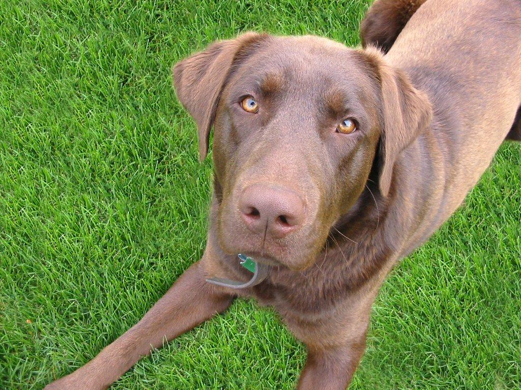 Free Brown Dog On Green Grass Stock Photo