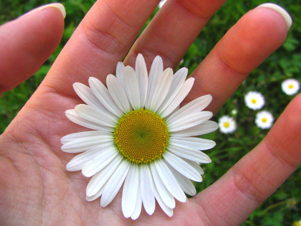 daisy in hand