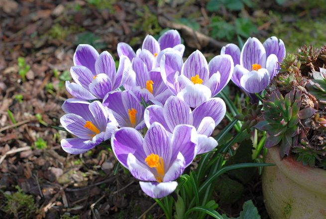 Image result for free crocus Family