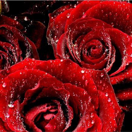 https://i2.wp.com/images.freeimages.com/images/previews/b2f/red-roses-1410101.jpg