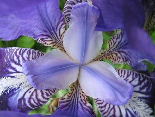 Free iris flower iris Images  Pictures  and Royalty Free Stock         Iris iris flowers petals