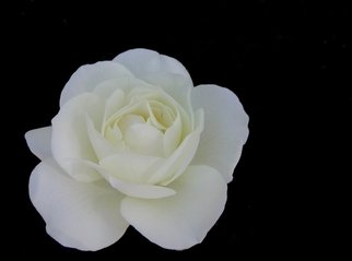 Free White Rose Images Pictures And Royalty Free Stock Photos Freeimages Com