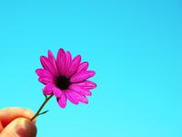 Dos dedos y una flor rosa