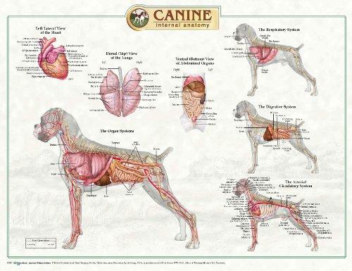 Canine Internal Anatomy Laminated Wallchart [Poster]