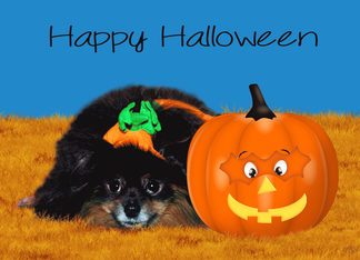 Halloween, general, cute Pomeranian in Jack-O-Lantern costume Greeting Card
