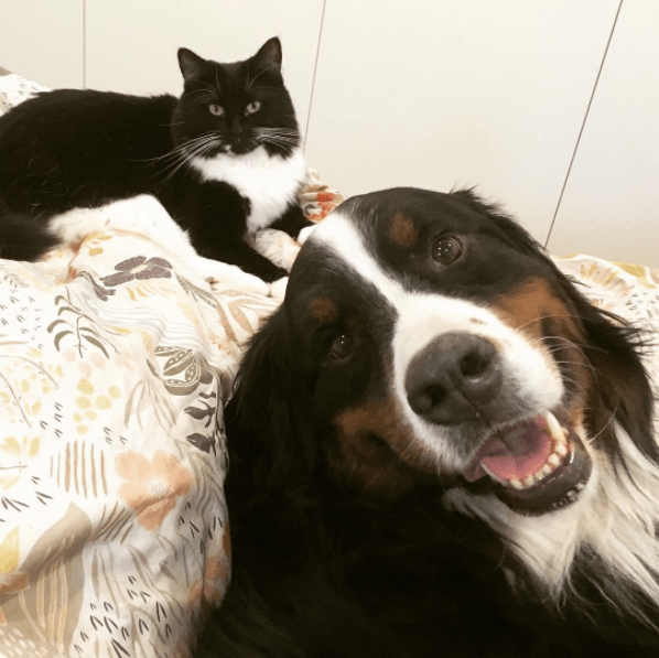 This Bernese Mountain Dog And His Cat Buddy Play Fighting