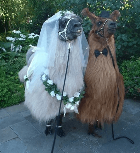 This Is Not A Drill You Can Now Rent Llamas To Attend