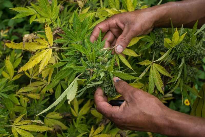 Nicolas Enriquez Marijuana   23 Aquaponics is the Future of Growing Weed