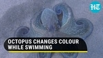 Octopus changes colour while swimming. Watch captivating video