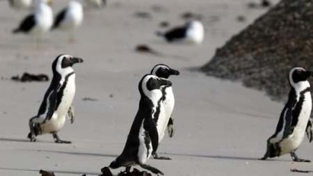 63 Endangered Penguins Killed by Swarm of Bees in South Africa