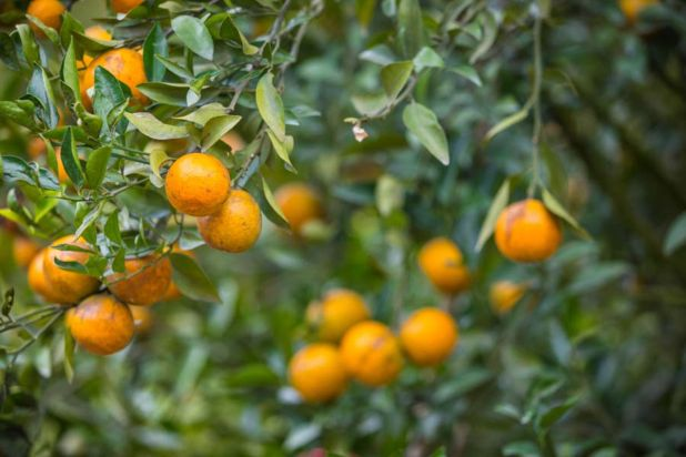 Health benefits of orange-lemon leaves
