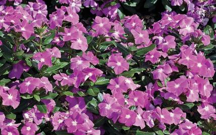 Periwinkle Flower Border | Gardening: Flower and Vegetables