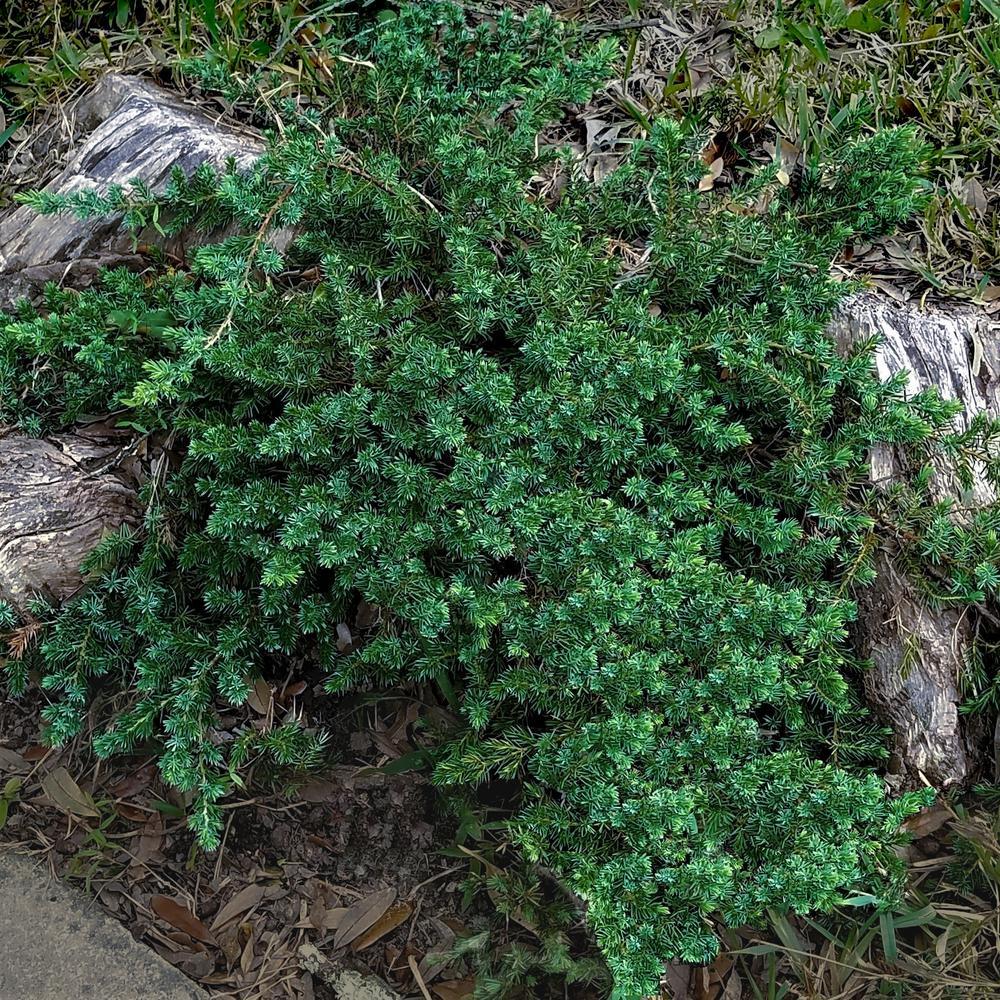 B Q Evergreen Plants