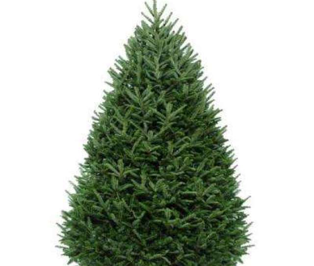 Freshly Cut Fraser Fir Real Christmas Tree Live