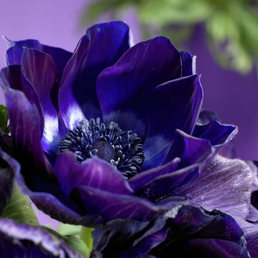 Blue Anemone Flower Wwwpixsharkcom Images Galleries