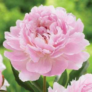 Peony   36   5   20 to  10 F    Flower Bulbs   Garden Plants     2 Eye to 3 Eye Sarah Bernhardt Peony Bulb