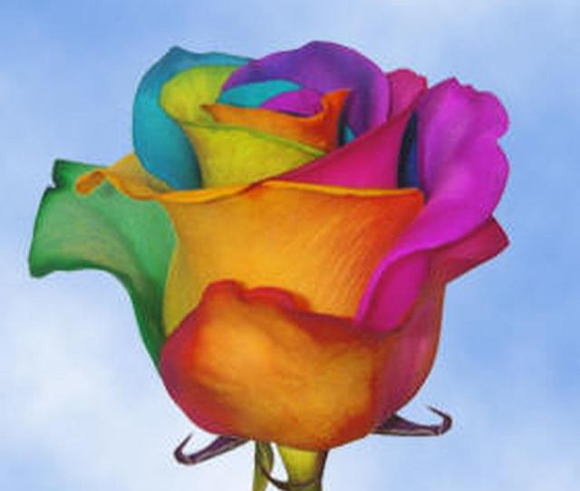 50 Stems Of Multi Color Rainbow Roses