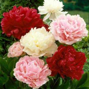 Peony   Flower Bulbs   Garden Plants   Flowers   The Home Depot Peonies