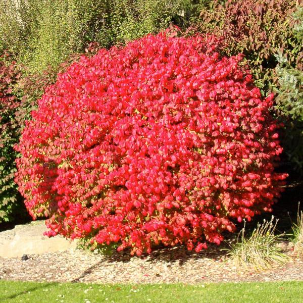 burning bush # 16