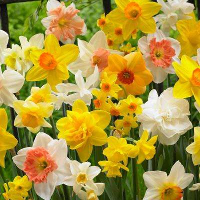 Daffodil   Flower Bulbs   Garden Plants   Flowers   The Home Depot Daffodils