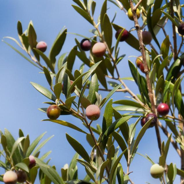 Image result for olive tree