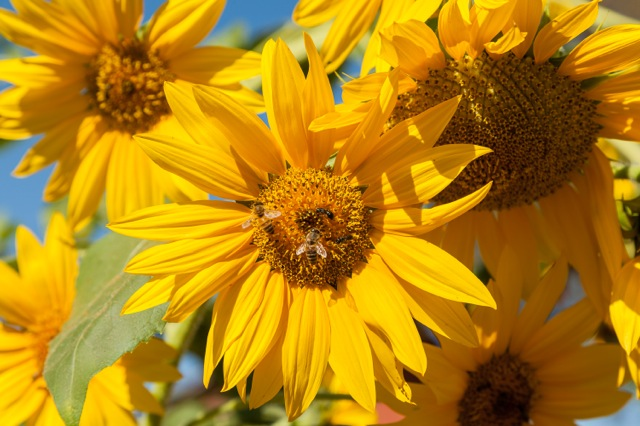 2013-05-29-SunflowersandBees.jpg