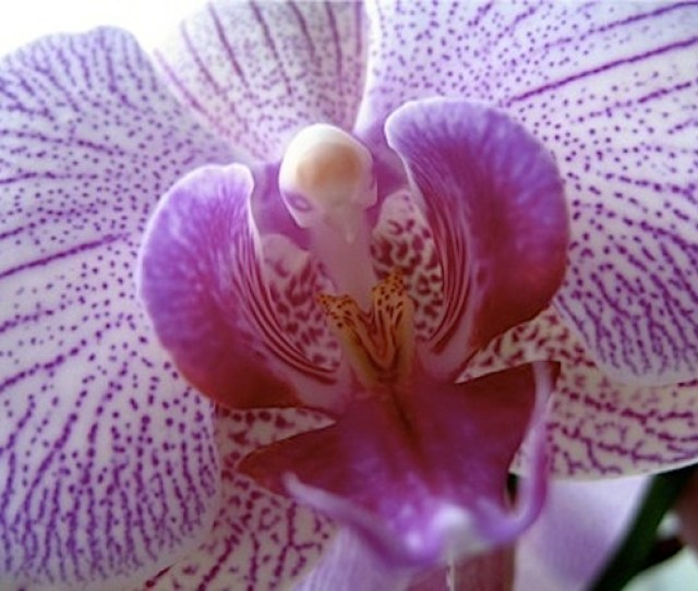Orchid_labia Jpg