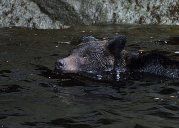 2015-10-06-1444165531-7707594-ASwimmingGrizzly.JPG