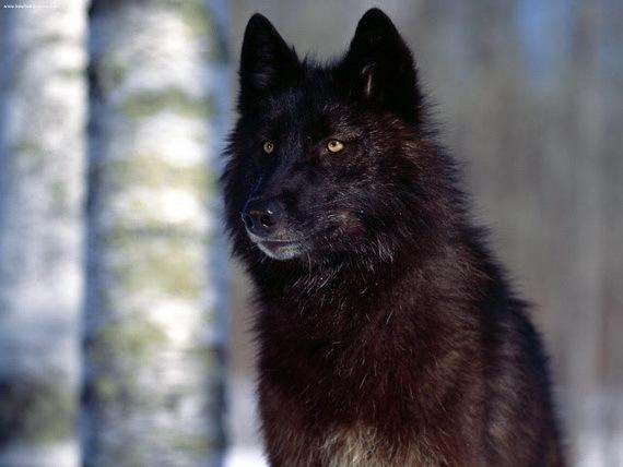 2015-11-03-1446578855-2315374-alexanderarchipelagowolfSourcePinterestccr301.jpg