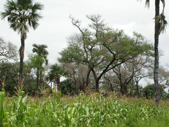 2015-11-12-1447350873-9575254-agroforestry.JPG