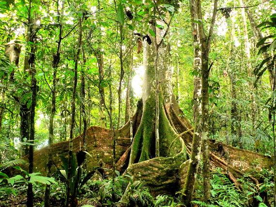 2016-01-26-1453834992-321831-forestatmanuaSourceajunglescientists.wordpress.comccr301.jpg