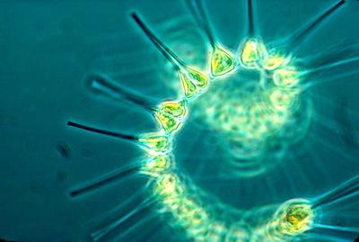 2016-02-02-1454440708-8284667-planktonphytocreditNOAAMESAproject640pxPhytoplanktonfoundationofoceanicfoodchaina.jpg