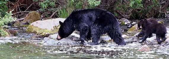 2016-02-09-1455034968-7621896-bearsbiodiversityecosystemstreamTDCccr315.jpg