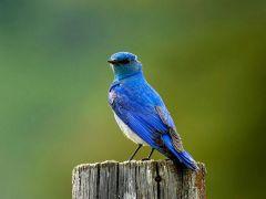 藍色知更鳥