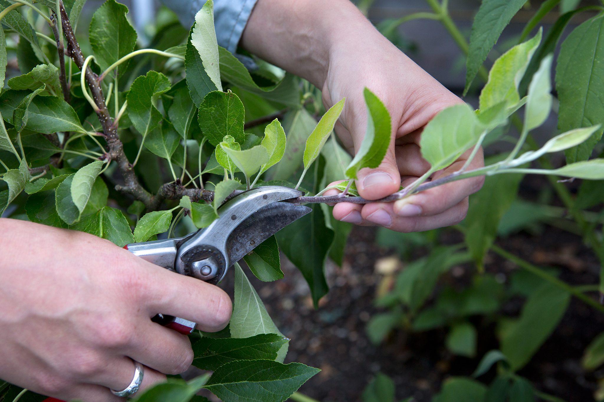 How To Prune Apple Trees In Summer Bbc Gardeners World Magazine