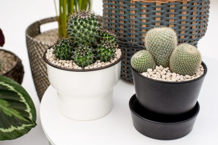 How to grow cactus plants - caring for cactus plants