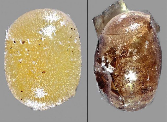 Non-parasitised vs parasitised egg (Elijah Talamas/PA)