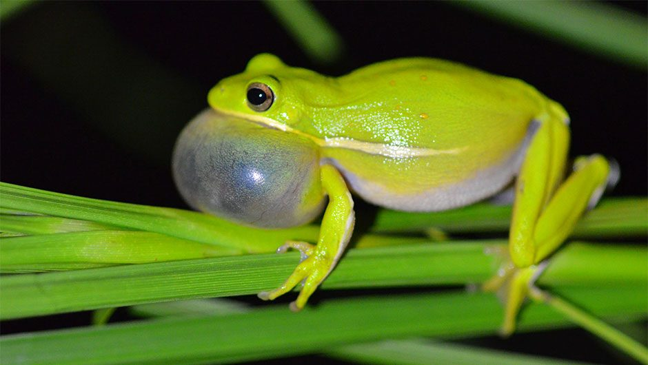 Frogs use their lungs like headphones to cancel out noise