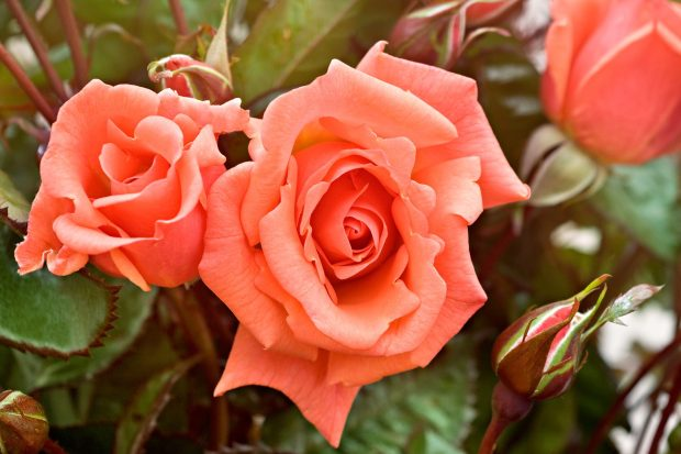 rosa-edwards-rose-3