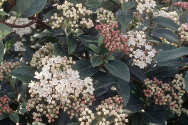 Is Sarcococca Poisonous To Dogs