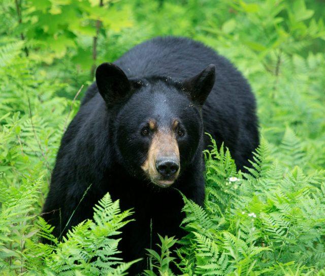 12 Amazing Black Bear Facts