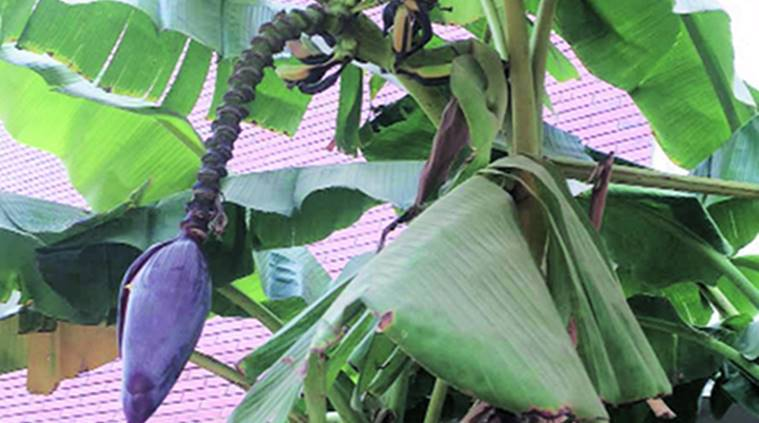 The Banana Tree Is Prayed To For Happiness Growth And Regeneration Cities News The Indian Express