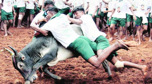 Jallikattu, Jallikattu protests, tamil nadu, tamil nadu jallikattu, bull taming sport, tamil nadu bull taming sport, india news, indian express news, indian express