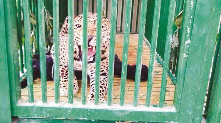 Rajkot leopard rehabilitation, Rajkot Pradyuman Park, Rajkot news, gujarat news, indian expres snews