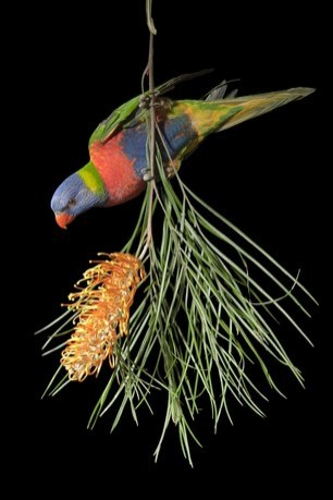 (Trichoglossus haematodus) from Brisbane, Queensland, Australia