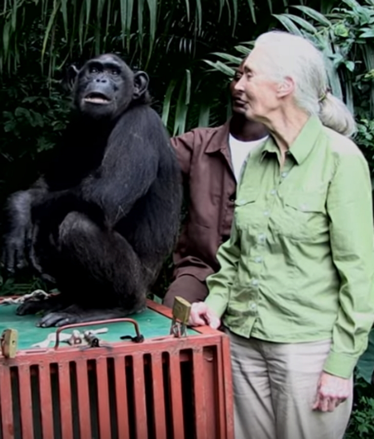 chimp2 - She Takes Care Of Sick Chimp. Chimp Is About To Be Released, And Her Final Act Is Tear-Dropping