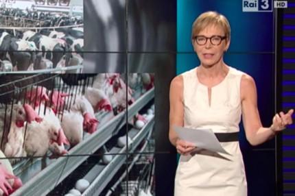 polli amadori antibiotici